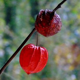 PHYSALIS by Wojtylak Maria - Nature Up Close Other plants ( plant, orange, seeds, garden, physalis )