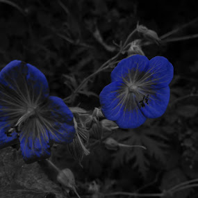 Electric Blue by Arif Burhan - Flowers Flowers in the Wild ( wild, blue, flowers )