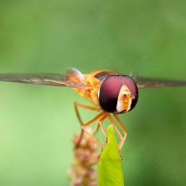 Lalat helm by Moestaqim Ahmad - Uncategorized All Uncategorized