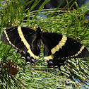 Magnificent Swallowtail
