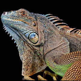 by Asriel Hidayat - Animals Reptiles