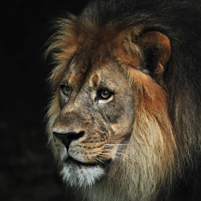 The King by Joe McBroom - Animals Other Mammals