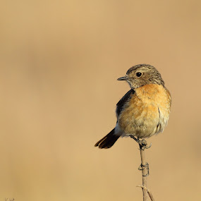Female African Stonechat  by Andrew Keys - Animals Birds ( bird, african, female, south africa, african stonechat, stonechat, birds )