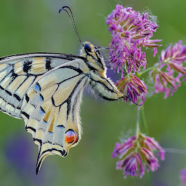 Papilio machaon by Stefano Pretti - Animals Insects & Spiders ( butterfly, papilio machaon, nature )