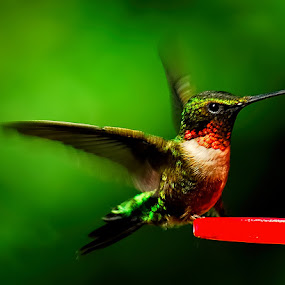 Humming Station by Charles Grubbs - Animals Birds ( bird, humming, humming bird )