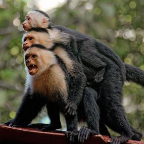 White face monkeys, Costa-rica by Benoit Beauchamp - Animals Other Mammals