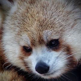 by Steven Maerz - Animals Other Mammals ( #redpanda #panda )