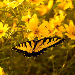 Yellow Butterfly on Yellow Flowers by Frank Matlock II - Animals Insects & Spiders ( butterfly, nature, sunny, yellow, flowers )