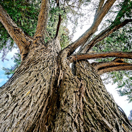 Strong and Straight by Barbara Brock - Nature Up Close Trees & Bushes ( huge tree, tree bark, tree trunk, looking up at large tree )