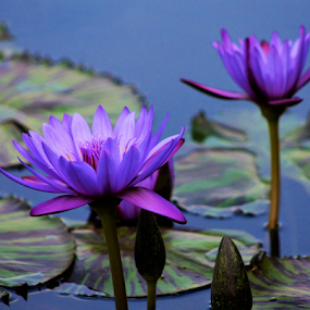 Lily Pads in Blue by Leah Zisserson - Flowers Flower Gardens ( blue, georgia, arboretum, lily pads, pond,  )