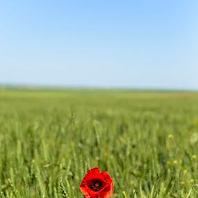 Alone by Andreea Alexe - Landscapes Prairies, Meadows & Fields ( field, wheat, red, sky, blue, green, poppy,  )