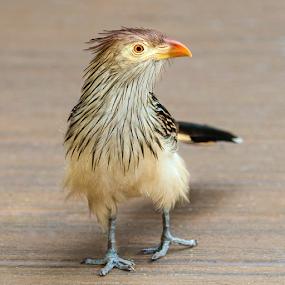 Guira Cuckoo on Deck by Judy Rosanno - Animals Birds ( spring, march 2018, san antonio zoo )