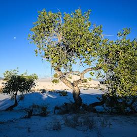 Otherworldly Oasis 2 by Ally Skiba - Landscapes Deserts ( sand, desert, mooset, white sands, new mexico, crystals, national monument, tree, blue, gypsum, otherworldly, sunrise, oasis )