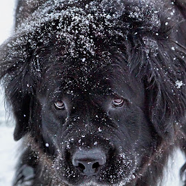 Come Play With Me by Sheen Deis - Animals - Dogs Playing ( playful, dogs, newfoundland, snow, pets )