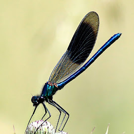 A Damsel not in distress.... by Stuart Finley - Animals Insects & Spiders