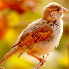 Sparrow by Ajitha Prashant - Animals Birds ( sony alpha, photography, sparrow )
