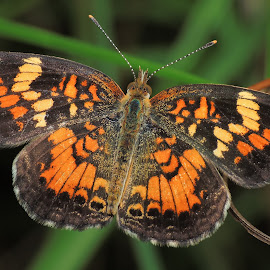 Pearl Cresent Butterfly. by Wan Cini - Animals Insects & Spiders ( pearl cresent butterfly. )