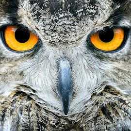 Angry Bird by Martin Wilcox - Animals Birds ( bird, up close, owl, wildlife, animal )