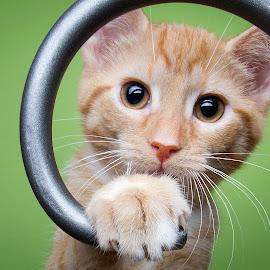 Buffy's baby by Eric Christensen - Animals - Cats Kittens ( kitten, ginger, green, spiral, eyes )