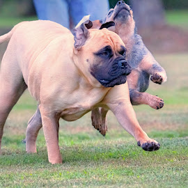 The Race by Sue Delia - Animals - Dogs Running ( bullmastiff, australian shepherd, motion, running )