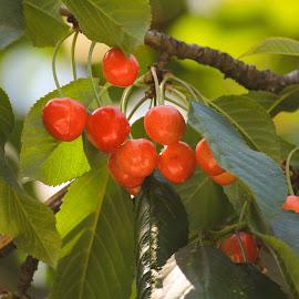 Cherry plant by Shalini Jain - Nature Up Close Gardens & Produce ( cherry, fruit, tree, leaves )