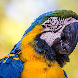 Macaw by Dave Lipchen - Animals Birds ( macaw )