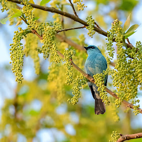 Verditer flycatcher by Maroof Rana - Animals Birds ( bird, nature, flycatcher, wildlife, verditer )