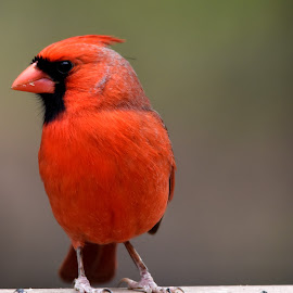 Male Cardinal by Linda Brooks - Animals Birds ( red, bird, natural light, nature and wildlife, nature photography )