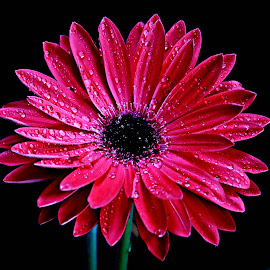 Rain drops on Red Gerbera by Pieter J de Villiers - Flowers Single Flower