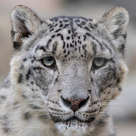 Snow Leopard close up!!!  by Fiona Etkin - Animals Lions, Tigers & Big Cats ( feline, nature, mammal, snow leopard, animal, big cat, spotted )
