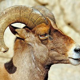 Bighorn sheep by Gérard CHATENET - Animals Other Mammals