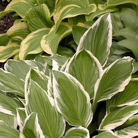 Hostas by Debbie Salvesen - Nature Up Close Leaves & Grasses ( nature, hostas, green, nature photography, leaves, garden,  )