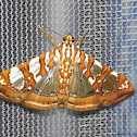 Mulberry Leaftier Moth