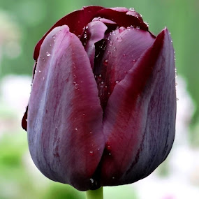 bordo tulip by Dubravka Bednaršek - Flowers Single Flower (  )