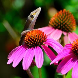 Photobombing Lizard by Patricia Warren - Animals Reptiles ( lizard, cone flower, nature, wildlife, reptile, garden, flower )