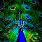 Ron Meyers Neon Peacock.jpg