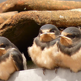 Baby Swallows by Gabrielle Phillips - Animals Birds ( baby swallows, swallow )