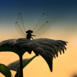 by Jofi Maly - Novices Only Macro ( dragonfly, morning )