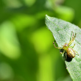 7-legged crab spider on a leaf by Yani Dubin - Animals Insects & Spiders