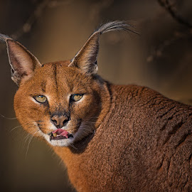 Caracal by Patrik Staněk - Uncategorized All Uncategorized ( wildcat, caracal )