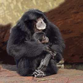 Mother love by Bob Has - Animals Other Mammals ( child, love, mother, tenderness, monkey,  )