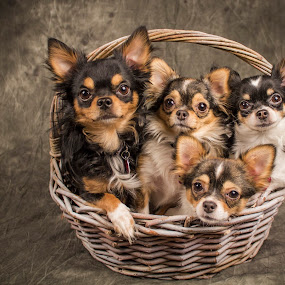 4 Chihuahuas in a Basket by Amber Johnston - Animals - Dogs Portraits ( pet, dog, chihuahua )