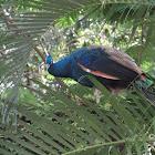 Pavo Real de Pecho Azul
