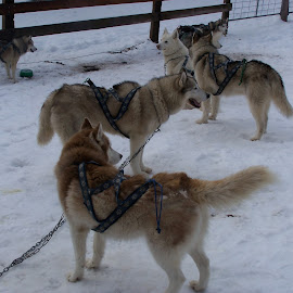Sled Dogs by Sarah Harding - Novices Only Pets ( animals, dogs, outdoors, pets, novices only )