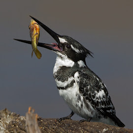 Pied Kingfisher by Francois Retief - Animals Birds