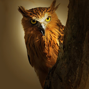 by Sirajuddin Halim - Animals Birds ( owl )