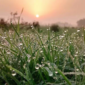 Morning dews by Tusharkanti Mandal - Nature Up Close Leaves & Grasses ( grasses, dews, drops, sunrise, morning )