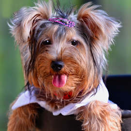 King!! by Ferdinand Ludo - Animals - Dogs Portraits ( pose, pet yorkie, playful, steady now, cute )