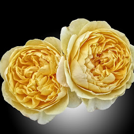 DNI rose 15 by Michael Moore - Flowers Flower Arangements
