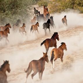 Wild Mustangs 2 by Dale Kesel - Animals Horses ( ultralight plane, mustang, native american land, desert, arizona, stampeding horses, wild mustangs, gila river reservation, stampede, native american )